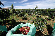 In the middle of a plantation, new coffee berries waiting to be processed. Packsong, Laos, Asia