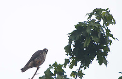 Peregrine Falcon (Falco peregrinus), Stuart Island, San Juan Islands, Washington, US