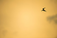 Little Tern Monitoring