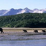 Alaskan Brown Bear, (Ursus middendorffi)  Mother taking cub out to fish for salmon. Katmai National Park. Alaska.