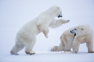 01874-13415 Polar Bears (Ursus maritimus) sparring, Churchill Wildlife Management Area, Churchill, MB