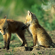 Red Fox, (Vulpus fulva) Pair of pups playing together near den Spring.