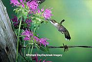 01162-060.06 Ruby-throated Hummingbird (Archilochus colubris) female at Bee Balm (Monarda sp.) Shelby Co. IL