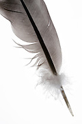 close up of a gray and black bird feather