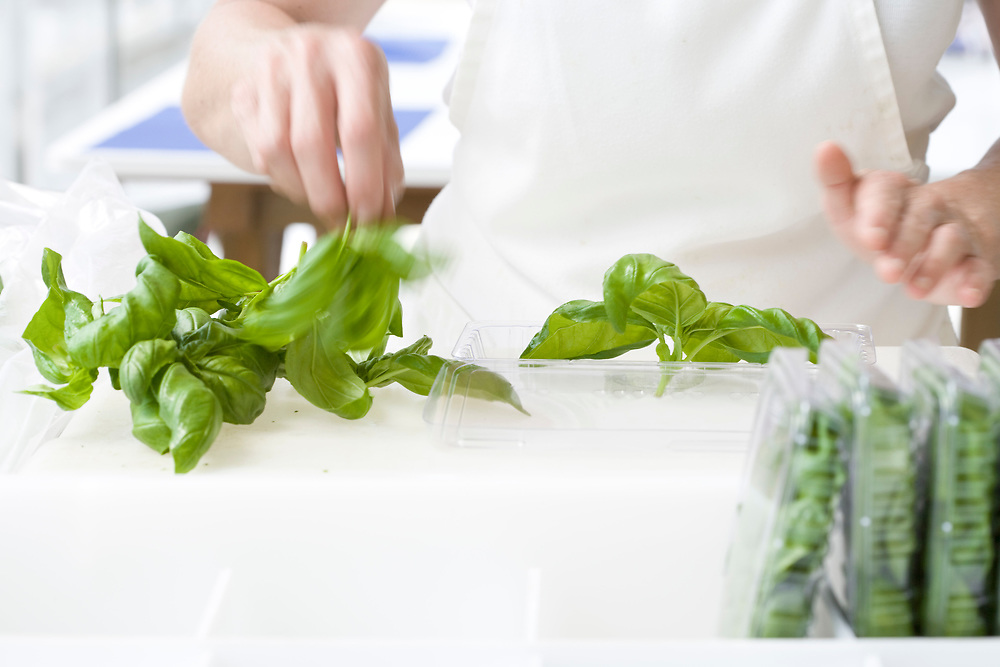 fresh basil being packaged at hydroponic farm
