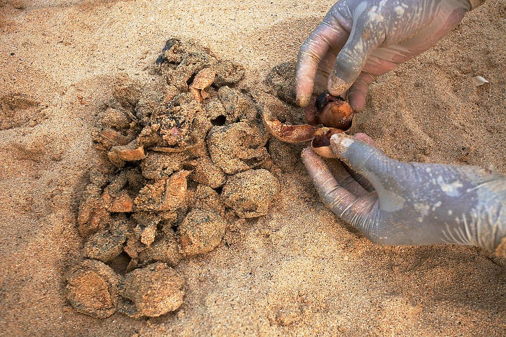 15/Septiembre/2014 Cabo Verde. Boa Vista.<br /> Inspección de los restos de un nido de tortuga Carettha carettha después de la eclosión.<br /> <br /> © JOAN COSTA