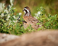 Northern Bobwhite (Colinus virginianus). Campos Viejos, Texas. Image taken with a Nikon D3x camera and 600 mm f/4 VR lens.