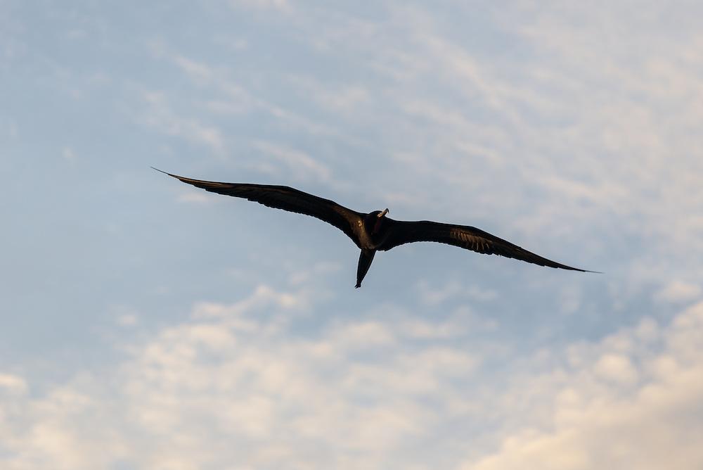 A female Magnificent Frigatebird in flight, Florida Everglades