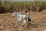 A local sugarcane worker arrives in the field with a horse and mule near Qurna, a village on the West Bank of Luxor, Nile Valley, Egypt. In Egypt, sugar cane juice is called aseer asab and is by far the most popular drink served by almost all fruit juice vendors, who are abundant in most cities.