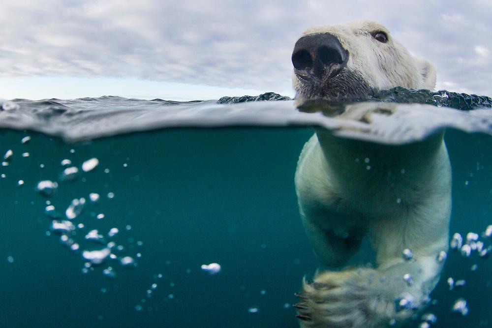 Canada, Nunavut Territory, Repulse Bay,Underwater view of Polar Bear (Ursus maritimus) swimming in Hudson Bay near Harbour Islands