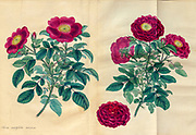ROSA centifolia, holosericea, Velvet-flowered Hundred-leaved Rose. From the book Roses, or, A monograph of the genus Rosa : containing coloured figures of all the known species and beautiful varieties, drawn, engraved, described, and coloured, from living plants. by Andrews, Henry Charles, Published in London : printed by R. Taylor and Co. ; 1805.