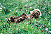 Grizzly sow and bear cubs nursing in Denali National Park