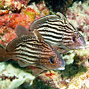 Highhat inhabit secluded areas of reefs, often under ledges, in recesses or near the entrance to caves in Tropical West Atlantic; picture taken Florida Keys.