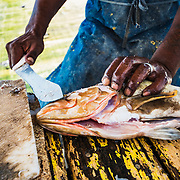 Nassau grouper (Epinephelus striatus), a critically endangered species, is cleaned and prepared for sale at a market by a fisherman in Nassau, Bahamas.