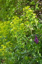 Wood Spurge with Early Purple Orchid. Euphorbia robbiae, Orchis mascula