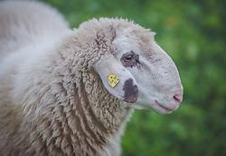 THEMENBILD - ein weißes Schaf auf der Fürthermoar Alm, aufgenommen am 10. August 2018, Kaprun, Österreich // a white sheap on the Fürthermoar Alm on 2018/08/10, Kaprun, Austria. EXPA Pictures © 2018, PhotoCredit: EXPA/ Stefanie Oberhauser