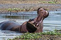 A Hippopotamus, Hippopotamus amphibius, yawns while lying in a pond in Ngorongoro Crater, Ngorongoro Conservation Area, Tanzania