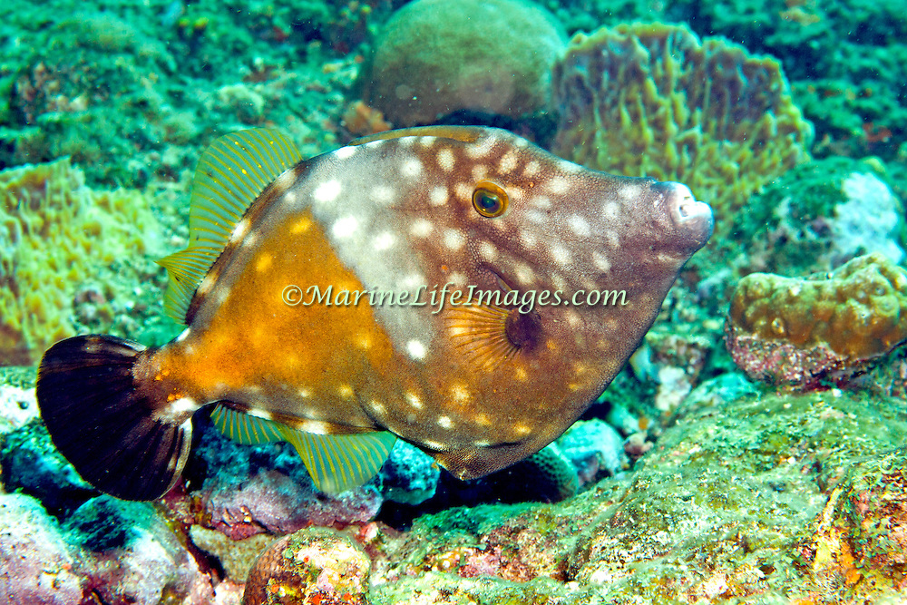 Whitespotted Filefish swim slowly over and around reefs in Tropical West Atlantic, often in pairs with one displaying white-spot pattern; picture taken Tobago.