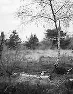 A young silver birch tree grows amongst the remains of a fallen compatriot. Photograph by Andrew Tobin/Tobinators Ltd