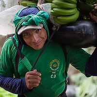 Workers cut, carry and prepare organic Fairtrade bananas in a plantation at Querecotillo for Valle de Chira.