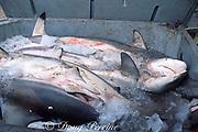 sharks on ice, ready to go to market, Trinidad ( Caribbean Sea )