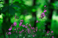 (Silene dioica) Red campion, Mullerthal trail, Mullerthal, Luxembourg