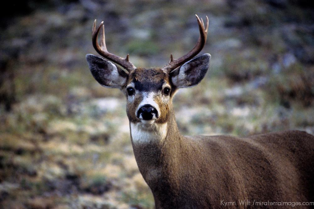 North America, USA, Washington. Black-tailed Deer of the Pacific Northwest.