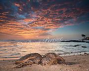 Hawaiian green sea turtles or honu, Chelonia mydas, resting on beach at sunset, Kailua Kona, Hawaii ( the Big Island ), Hawaiian Islands ( Central Pacific Ocean ) [digital composite of two photographs]