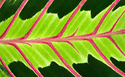 Close-up abstract of the leaf of a Prayer plant (Maranta leuconeura) at the Baytree Garden Centre Spalding Lincolnshire