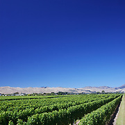 Sweeping views of vineyards with a stunning mountain range back drop in the Marlborough Wine Region, Blenheim,  South Island of New Zealand..The Marlborough wine region is New Zealand's largest wine producer. The Marlborough wine region has earned a global reputation for viticultural excellence since the 1970s. It has an enviable international reputation for producing the best Sauvignon Blanc in the world. It also makes very good Chardonnay and Riesling and is fast developing a reputation for high quality Pinot Noir. Of the region's ten thousand hectares of grapes (almost half the national crop) one third are planted in Sauvignon Blanc. Marlborough, New Zealand, 10th February 2011. Photo Tim Clayton