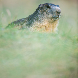 marmotte, Marmota Marmota