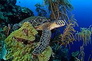 Sleeping or resting Green sea turtle (Chelonia mydas) Atlantic, Bonaire, Leeward Antilles, Caribbean region, Netherlands Antilles | Ruhende oder schlafende Grüne Meeresschildkröte (Chelonia mydas) an ihrem Ruheplatz. Sie kehren zum Schlafen oft an die gleichen Stellen zurück. Manche Bereiche im Riff sind dadurch regelrecht freigescheuert.