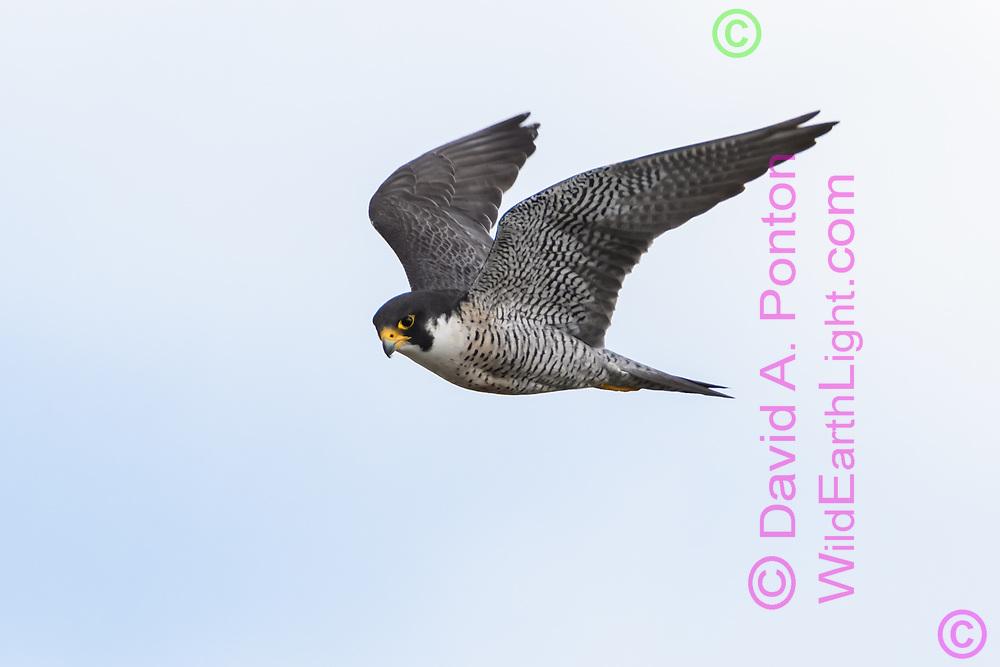 Wild peregrine falcon hunting, © David A. Ponton