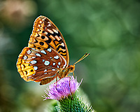 Great Spangled Fritillary feeding on on Thistle flowers. Image taken with a Nikon D4 camera and 80-400 mm VR lens.