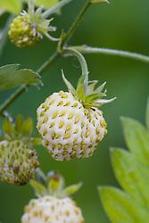 White alpine strawberry - Fragaria vesca