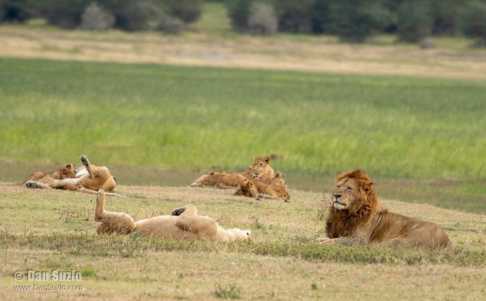 Lion, Panthera leo  melanochaita, in Ngorongoro Crater, Ngorongoro Conservation Area, Tanzania