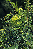 IRISH SPURGE Euphorbia hyberna (Euphorbiaceae) Height to 55cm. Attractive, tufted and hairless perennial. Found in shady woodland and hedgerows. FLOWERS are yellow with rounded lobes (petals and sepals are absent); borne in flat-topped umbel-like clusters (May-Jul). FRUITS have long, slender warts. LEAVES are oval, tapering and stalkless.