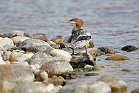 Common merganser (mergus merganser) swimming in Bow River, Lafarge Meadows, Calgary, Alberta, Canada,