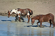 Wild horse stallion Picasso, left, and his mate, Spirit Dancer splash in a waterhole in Sand Wash Basin Horse Management Area in northwest Colorado.