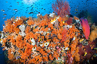 Damsels, Soft Corals, and Coral Grouper<br /> <br /> Shot in Indonesia