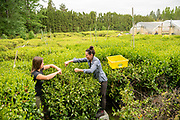 Kacie Merkle and Elizabeth Miller of Minto Island Tea Company in Salem, Oregon harvest the first flush of the season.