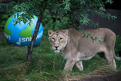 Embargoed to 0001 Thursday August 10 An Asiatic lion at ZSL London Zoo with a giant boomer ball as the zoo celebrates World Lion Day on August 10.