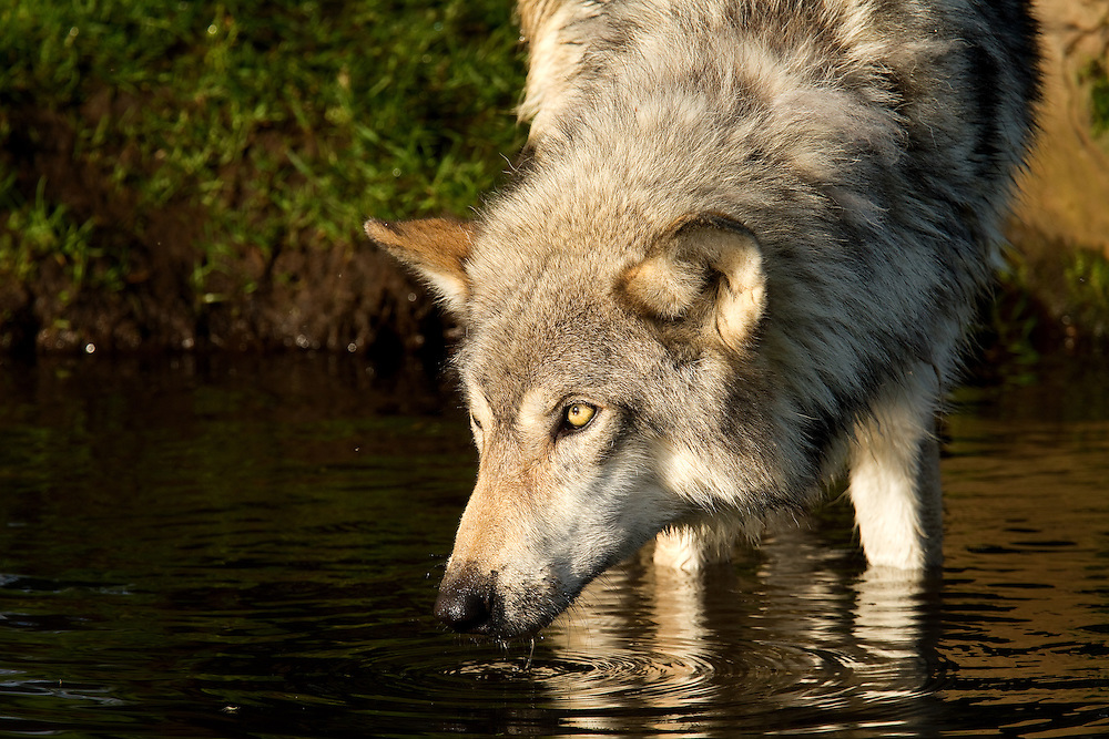 """Grey wolf at the pond.<br /> <br /> Available sizes:<br /> 18"""" x 12"""" print <br /> 18"""" x 12"""" canvas gallery wrap <br /> 24"""" x 16"""" <br /> <br /> See Pricing page for more information."""