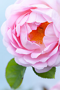 Rosa 'Constance Spry' - English Rose by David Austin