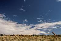 Longnecked Giants of the WIld, Kaglagadi Landscape South Africa