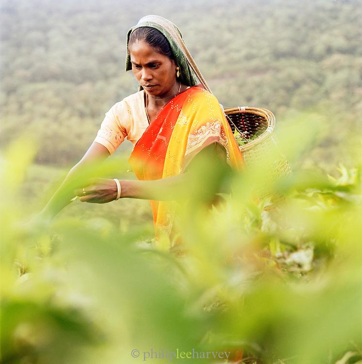Tea picker, Kerala, India