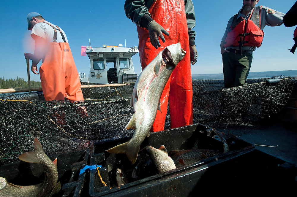 PRICE CHAMBERS / NEWS&GUIDE<br /> Andy Stuth drops another big fish in the bucket as Jake Junior gathers more from the net drug over the rear of a fishing boat on Yellowstone Lake on Wednesday. The National Park Service is working to erradicate lake trout before the invasive species overwhelms native cutthroat trout, which many types of wildlife depend on for food.