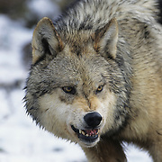 Gray Wolf (Canis lupus) snarling over a bison carcass during the winter in the Rocky Mountains of Montana. Captive Animal