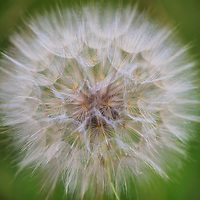 """""""Puffball""""<br /> <br /> Found in the Blue Ridge Mountains. This large white puffball is not that of a dandelion, but one of Goat's Beard. Much larger than a dandelion puffball!!<br /> <br /> Flowers and Wildflowers by Rachel Cohen"""