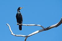 Double-crested Cormorant, Phalacrocorax auritus, perches in a dead tree at Lake Ewauna, Klamath Falls, Oregon